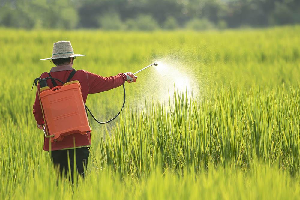 women farmer spraying pesticide on rice fields